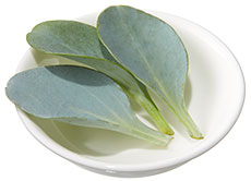 Oyster Leaves